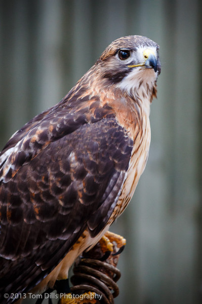 Skoshi, a Red-Tailed Hawk at PhotoWild! at Carolina Raptor Center in Charlotte, North Carolina