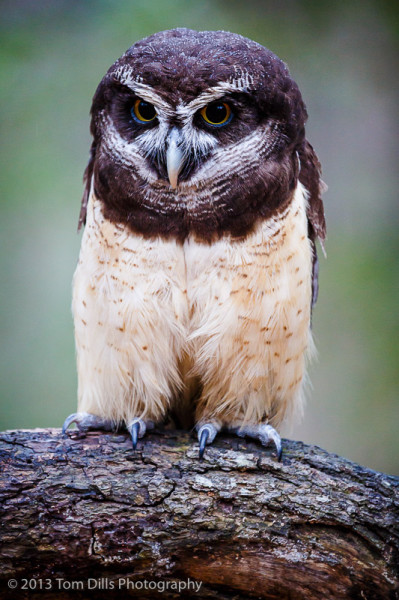 Estrella, a Spectacled Owl, at PhotoWild! at Carolina Raptor Center in Charlotte, North Carolina