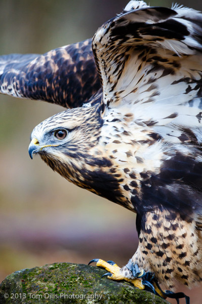 Aletta, a Rough-Legged Hawk at PhotoWild! at Carolina Raptor Center in Charlotte, North Carolina