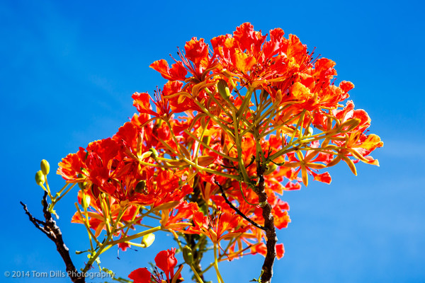 Flamboyant Tree in St Martin