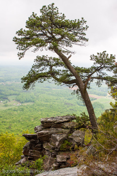 Tree and rocks, Pilot Mountain State Park, North Carolina