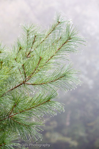 Pine Tree Branch with dew, Natural Bridge State Park, Kentucky