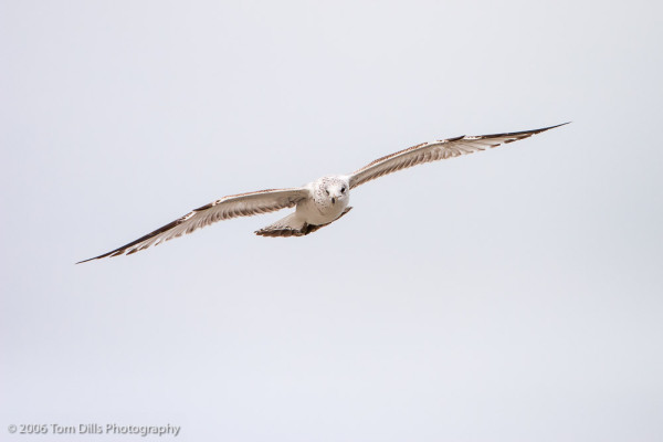Ring-billed Gull at Litchfield Beach, SC