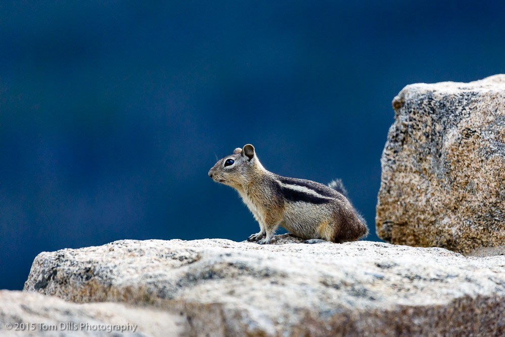 Golden Manteled Ground Squirrel at Farview Curve overlook on Trail Ridge Road in Rocky Mountains National Park