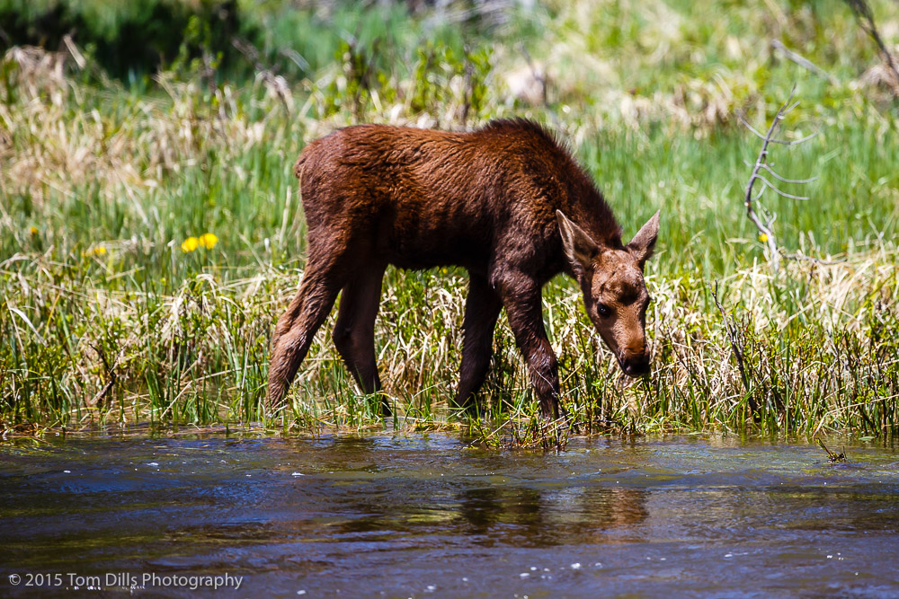 Moose along Trail Ridge Road in Rocky Mountains National Park, Colorado
