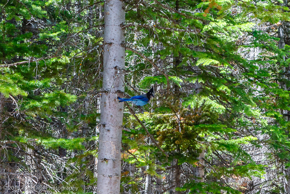Steller's Jay at Bear Lake, Rocky Mountains National Park, Colorado