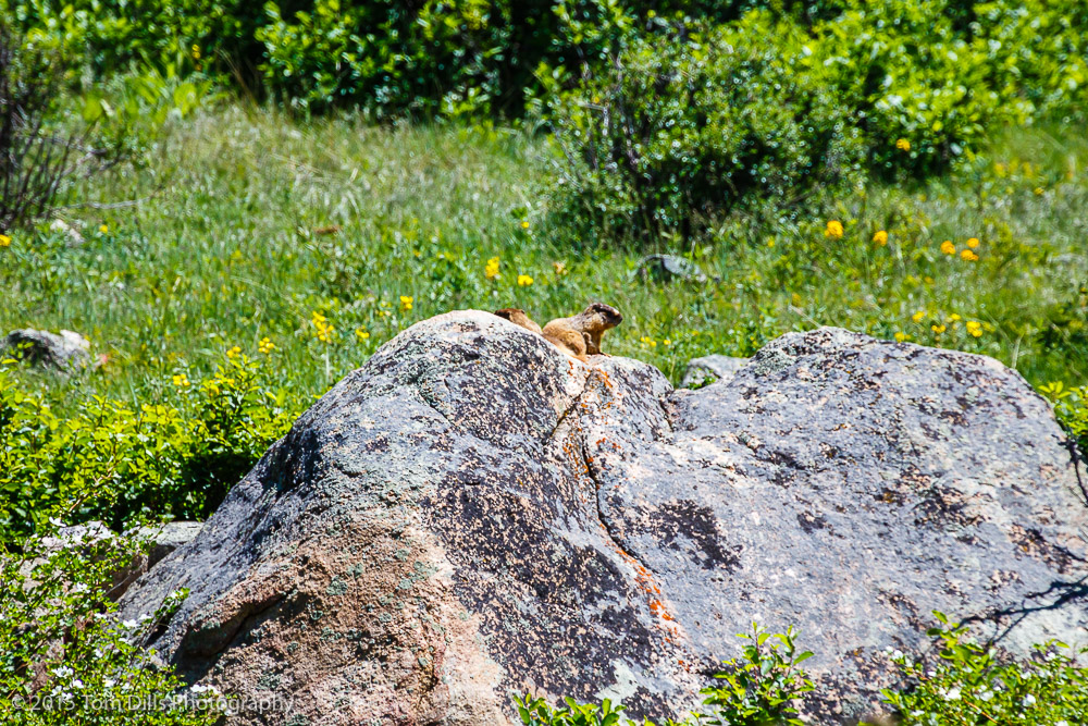 Marmot in Rocky Mountains National Park