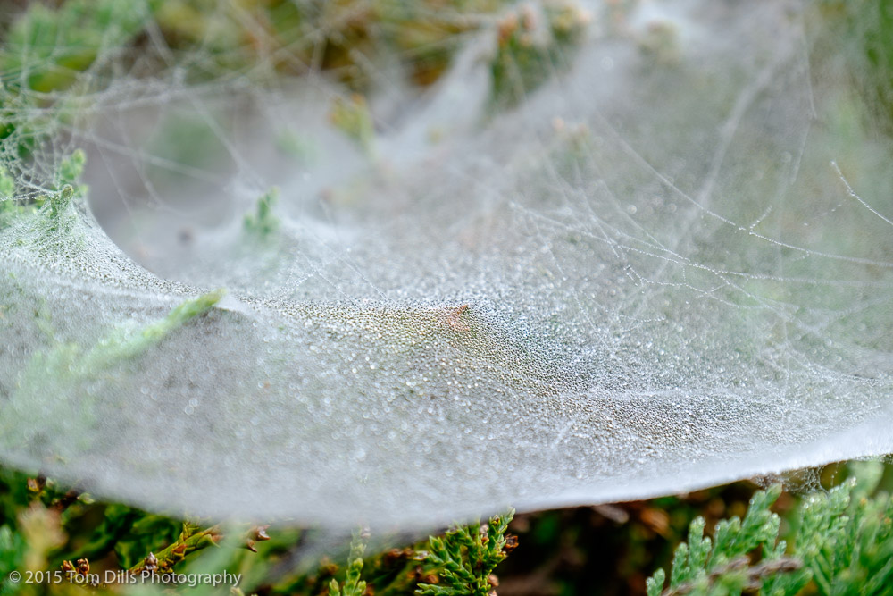 Dew-covered webs, Waynesville, North Carolina
