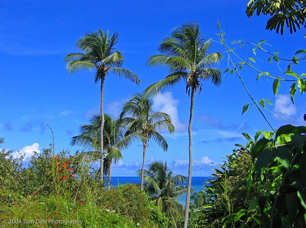 Palm Trees at Andromeda Gardens, Barbados