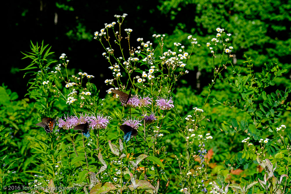 Purple bee balm along the Blue Ridge Parkway at the Rabb Knob overlook