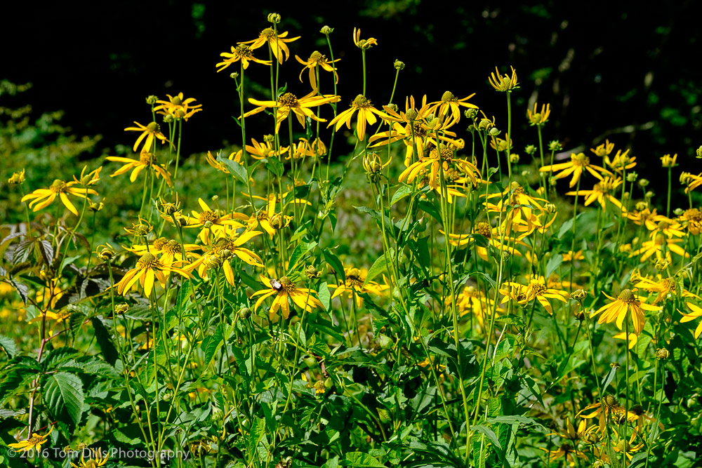 Yellow Coneflowers at Roy Taylor Forest overlook on the Blue Ridge Parkway