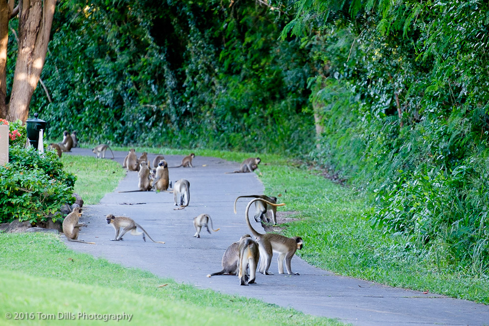 Green Vervet monkeys on the golf course at Four Seasons, Nevis West Indies